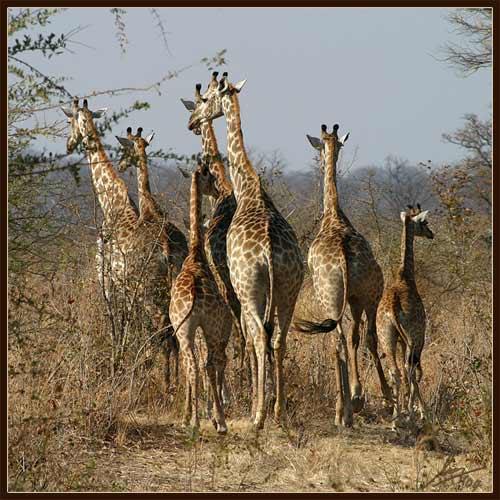 Matetsi Giraffe 1