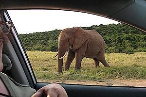 Tussen de olifanten