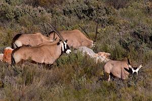 Oryxen in de verte